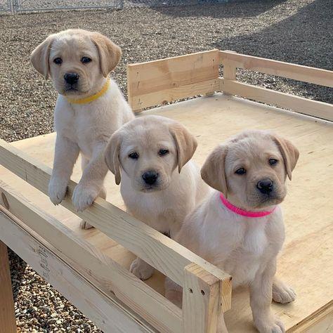 940 次赞 19 条评论 Lumberjack Labs Lumberjacklabs 在 Instagram 发布 The Three Amigos Three In 2020 Lab Puppies Animal Photography Dogs Yellow Lab Puppies