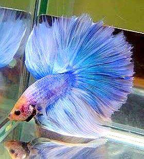 Betta Beauty In 2020 Betta Fish Betta Pet Fish