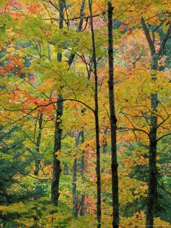Northern Hardwood Forest in Fall, Green Mountain National Forest, Vermont, USA
