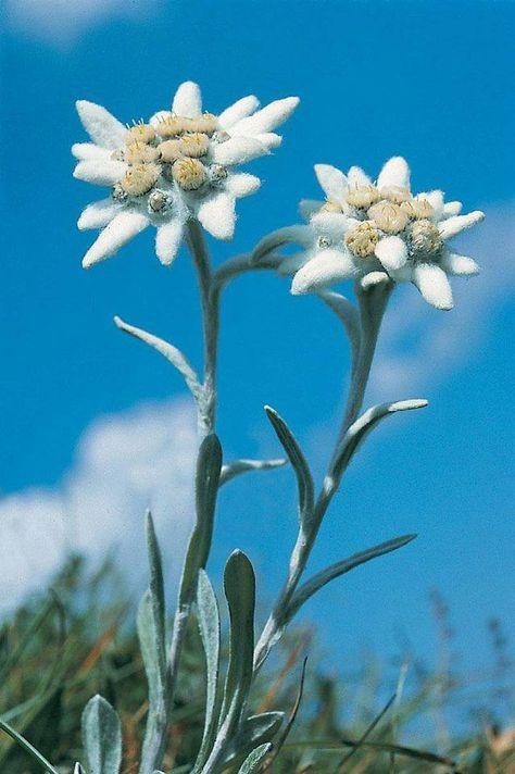 Rodna Mountains Munții Rodnei Romania Floarea Reginei Floarea De Colț Leontopodium Alpinum Cass Edelweiss Flower Beautiful Flowers Hd Flowers