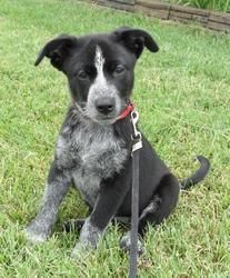 Australian Cattle Dog Pitbull Mix Black