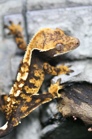 I decided that I NEEDED to own Crested Geckos after my friend Joel Friesch showed them to me. They looked so cool and 'designed' with their symmetrical crests and spiked eyebrows. But …