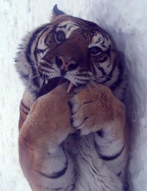 Tigers can be adorable!
