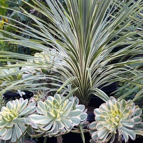 Aeonium Sunburst And Cordyline Australis Torbay Dazzler Many Members Of The Cordyline Family Come From New Zealan Flora Grubb Low Water Gardening Plants