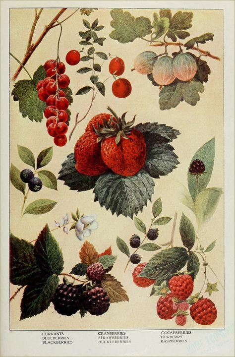 vintage botanical drawings of berries