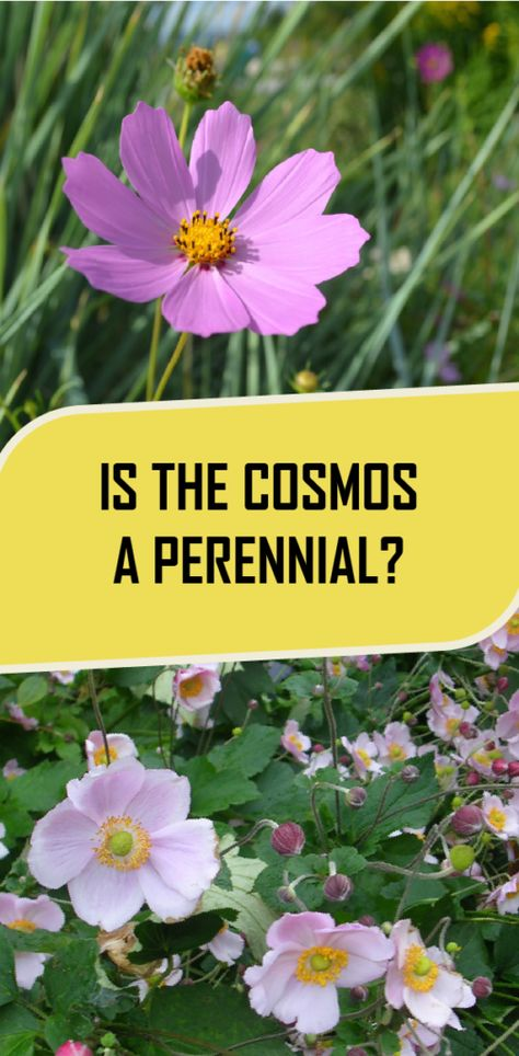 Is The Cosmos A Perennial