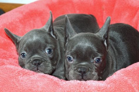 French Bulldog Puppy For Sale In Miami Fl Adn 71805 On