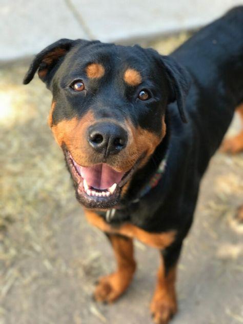 Rottweiler Dog For Adoption In Littelton Co Adn 590127 On