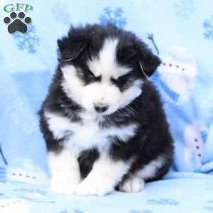 Pomsky Puppies For Sale Pomsky Breed Profile In 2020 Pomsky Puppies Puppies Pomsky Puppies For Sale