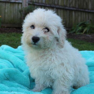 Bichon Frise Puppy For Sale In Gap Pa Adn 50327 On Puppyfinder