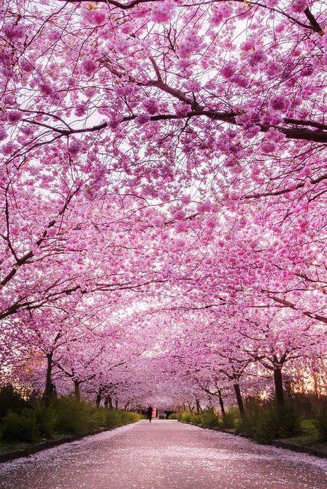 New Cherry Blossom Tree Garden Pink 44 Ideas Japanese Cherry Tree Chinese Cherry Blossom Spring Photography Nature