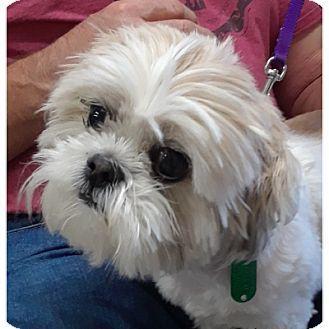 Shih Tzu Dog For Adoption In Kalamazoo Michigan Bandi Kitten
