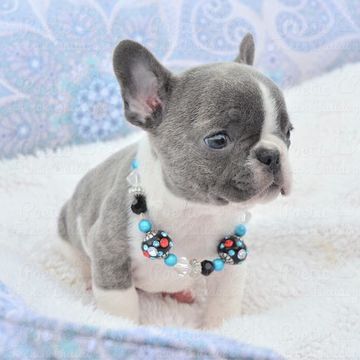 French Bulldog Puppy For Sale In Fort Lauderdale Fl Adn 62475 On