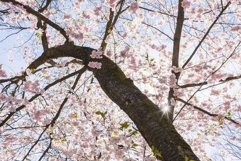 Cherry Blossom Tree Facts That You Definitely Never Knew Before Cherry Blossom Tree Blossom Trees Blossom