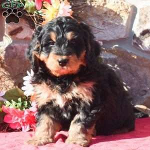 Mini Bernedoodle Puppies For Sale Perros