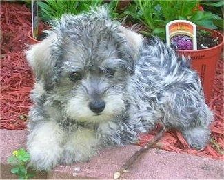 A Small Wavy Coated Black Grey And White Schnoodle Puppy Is