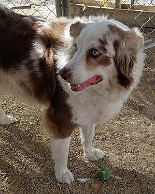 North Las Vegas Nv Australian Shepherd Meet Ty A Dog For