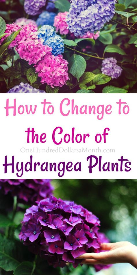 How to Change the Color of Your Hydrangea Plants First, the color change only applies to pink and blue flowers. White hydrangea can't be changed. Occasionally they will take on a pink tinge as the mature, but there's really nothing you can do to force th Hydrangea Colors, Hydrangea Care, Hydrangea Flower, Hydrangea Color Change, Blue Flowers, Hydrangea Types, Wild Flowers, Climbing Hydrangea, Gardening