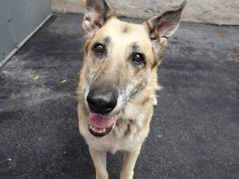 SAFE!! SUPER URGENT 11/11/14 Manhattan Center SILVIA - A0462734 ***RETURNED ON 11/10/14*** FEMALE, BLACK / TAN, GERM SHEPHERD, 13 yrs OWNER SUR - EVALUATE, HOLD FOR ID Reason PET HEALTH Intake condition UNSPECIFIE Intake Date 11/10/2014, From NY 11413, DueOut Date 11/13/2014, https://www.facebook.com/Urgentdeathrowdogs/photos/a.904317999581080.1073743292.152876678058553/904251299587750/?type=3&theater