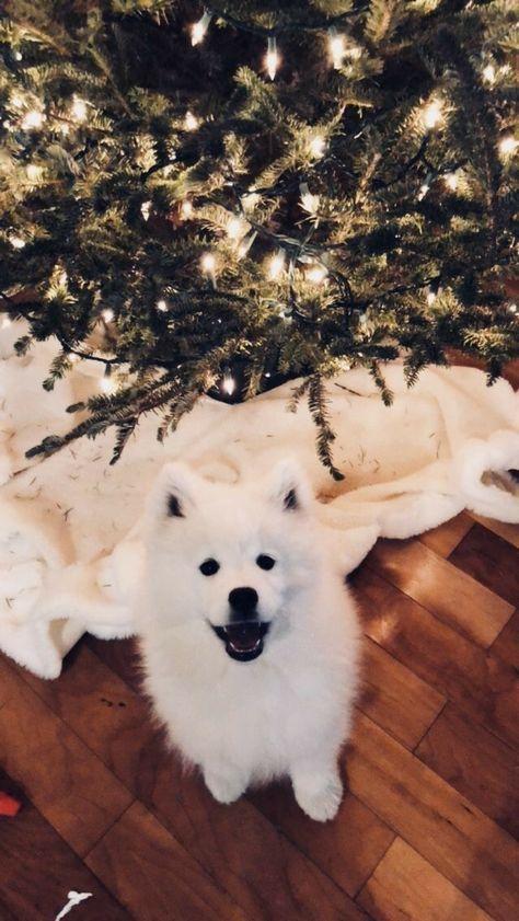 Dog Wallpaper, Dog Wallpaper for iPhone, Dogs Wallpaper, Lovely Fluffy Dog #samoyed #dogsamoyed #petlove #lovepet #doglover #lovedogs #dogslove #doglover #lovedog #petdog #dogs #puppylove #petlife
