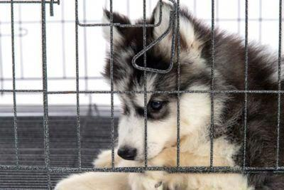 Siberian Husky Puppy In A Crate Huskypuppy Training Your Puppy