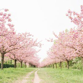 Five Mistakes You Re Making With Your Hydrangeas Cherry Blossom Tree Pink Blossom Tree Cherry Blooms