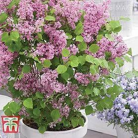 Lilac Dwarf Flowerfest Pink Dwarf Lilac Lilac Plant Prune Lilac Bush