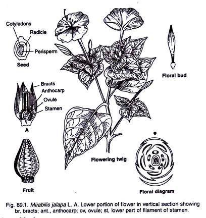 Mirabilis Jalapa Geometric Tattoo Flower Tattoo Flowers