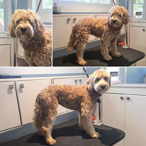 Miss Rosie In For A Puppy Groom 6monthsold Doodle Trimup Victoriabc Yyj Petgrooming With Images Pet Groomers