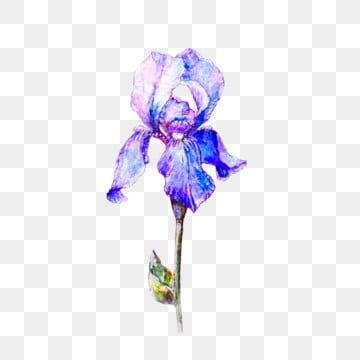Elegant Single Blue Iris Flower Watercolor Png Iris Flowers Png Transparent Clipart Image And Psd File For Free Download Iris Flowers Watercolor Flowers Watercolor Blue Background