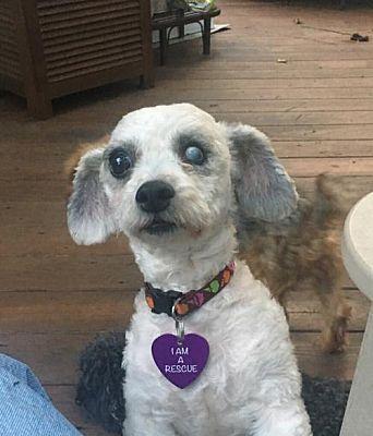 Tenafly Nj Maltese Meet Poppy A Pet For Adoption Pet