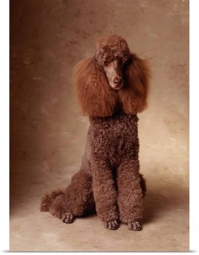 Poodles Smart Active And Proud Pudel Hunde