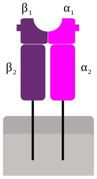 Superantigen - Wikipedia - Schematic representation of MHC class II.