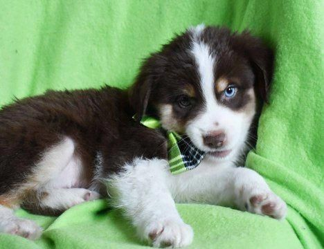 Australian Shepherd Puppy For Sale In Ephrata Pa Adn 62580 On