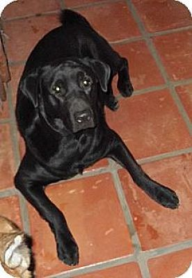 Pictures Of Richard Burton A Labrador Retriever For Adoption In Key Biscayne Fl Who Needs A Loving Home Labrador Retriever Pet Adoption Labrador Retriever Mix