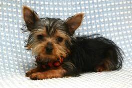 Pin By Tammie Hillard On Beautiful Yorkies In 2020 Puppies Yorkshire Terrier Puppies Terrier Puppies