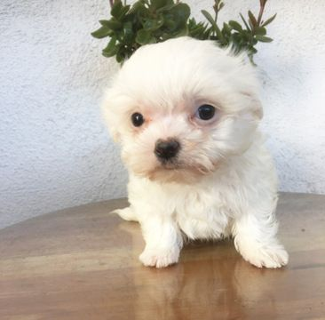 Maltese Puppy For Sale In Los Angeles Ca Adn 62867 On