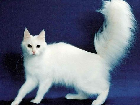 38a913fa08 What kind of cat breed are you   turkish angora Beautiful and elegant on  the surface