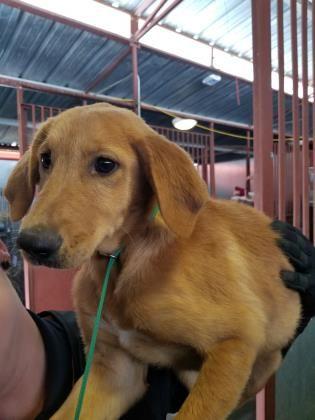 Animal Id 38865302 Species Dog Breed Retriever Labrador Mix Age 6