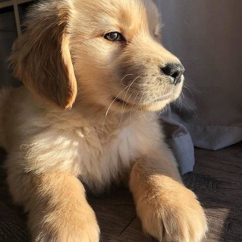Look At Him 😧 🐾 Golden Retriever 🐶 📸 ( Super Cute Puppies, Cute Little Puppies, Cute Dogs, Dogs And Puppies, Doggies, Golden Retrievers, Dogs Golden Retriever, Cute Baby Animals, Animals And Pets