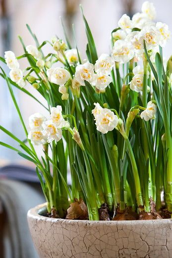 If Your Are Looking For The Best Smelling Flower Daffodil Bridal Crown Is Really The Very Best Choice Such Sweet Smells Of Spring Double Flowered And In A Be