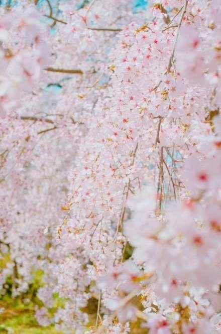 New Sakura Tree Walks Ideas Flowering Cherry Tree Sakura Tree Blooming Trees