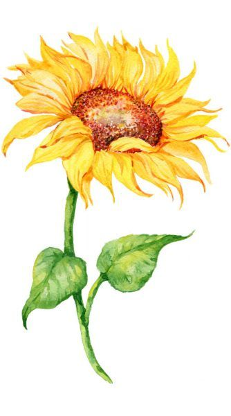 Sonnenblume In 2020 Pflanzenzeichnung Sonnenblumen Und Aquarell