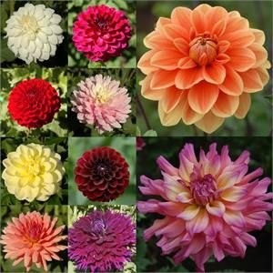 Gardener S Choice Collection 10 Dahlias Item 725 Dahlia Flower Unique Flowers Dahlia