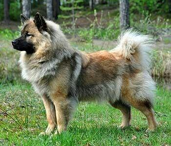 Eurasier Unique Dog Breeds Eurasian Dog Eurasier