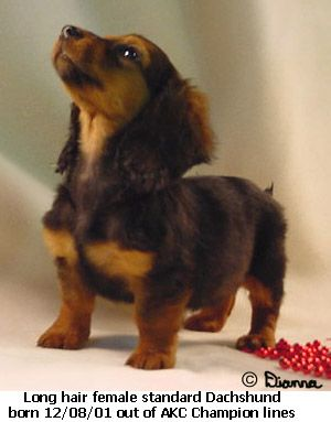 Long Haired Dachshund 3 Only Small Dog I Would Ever Get Besides