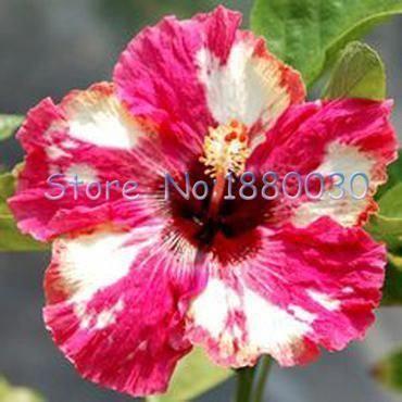 Hibiscus Flower Amazon Uk Hibiscus Flores Exoticas Flores Bonitas Jardin De Flores