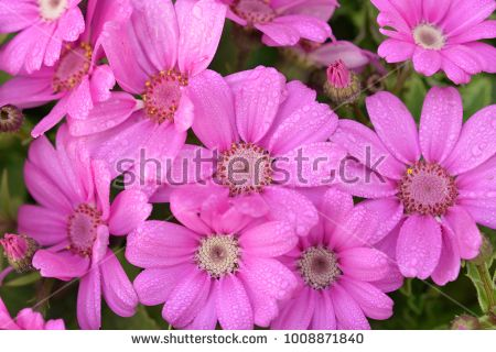 Pink Aster Flowers Aster Flower Flowers Colorful Flowers