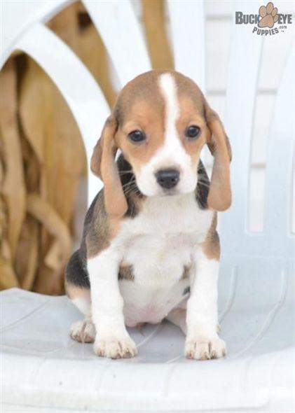 Pin By Mel On Love Dog Training Beagle Puppy Beagle Dog