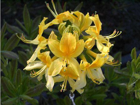 Rhododendron Luteum Wildform Pflanzen Azaleen Rhododendron Luteum